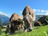 Пастбище коров, Австрия