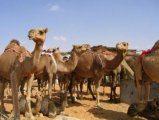 Верблюжий рынок