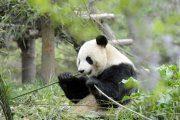 Заповедник больших панд в Ченду
